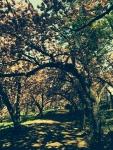 Cherry blossom canopy, Central Park